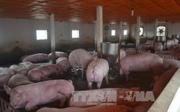 Đồng Nai: Giá lợn quay đầu giảm do nguồn cung dư thừa