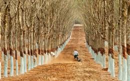 Giá cao su tăng gần 70%, doanh thu quý 1 của Cao su Phước Hòa (PHR) tăng vọt