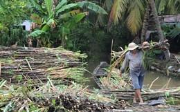 Hậu Giang: Mía rớt giá, nông dân lao đao