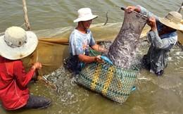 Cá kèo ở Sóc Trăng rớt giá: Người nuôi đối mặt với khó khăn