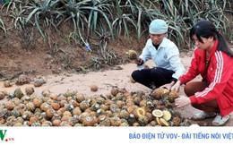 Vụ dứa chết bất thường ở Lào Cai: Thống nhất đơn giá bồi thường