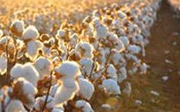 Dự báo nguồn cung nguyên liệu bông thế giới vụ 2017/2018 tăng cao