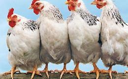 Thịt gà ngoại 'đè' giá thịt gà nội xuống mức thấp nhất 5 năm qua