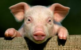 Những câu chuyện bên lề chiến dịch giải cứu thịt lợn