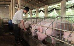 Chiến dịch 'giải cứu lợn': 1 triệu tấn lợn sẽ 'lên đường' sang Trung Quốc