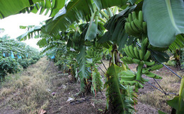 Hoàng Anh Gia Lai đặt kỳ vọng lớn vào cây ăn trái để xoay chuyển tình thế