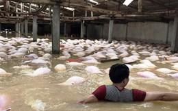 """Chủ trang trại kể lại lũ 'cướp"""" đi 6.000 con heo"""
