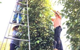 Tiêu Việt rớt giá thê thảm nhất trong vòng 6 năm qua