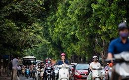 130 cây xanh trên đường Kim Mã trước giờ chặt hạ, đánh chuyển
