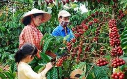 Tìm lời giải cho bài toán giải ngân vốn tái canh cây cà phê