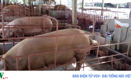 """Hàng chục nghìn con lợn chưa xuất chuồng vì bị """"ép giá"""" tại Tiền Giang"""