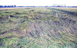 Nông dân khốn đốn vì hơn 16 ngàn ha lúa đổ sập
