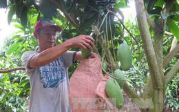 Nông dân An Giang trồng xoài thu được trên 2.000 tỷ đồng
