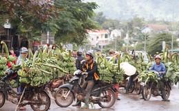 Người dân trồng chuối Quảng Trị 'méo mặt' vì giá rớt thảm