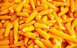 Bộ NN-PTNT cho phép tiếp tục nhập khẩu bột bã ngô từ Hoa Kỳ