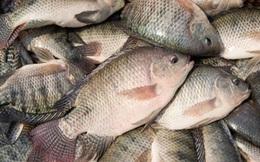Xuất khẩu cá rô phi nhiều triển vọng