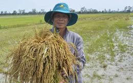 Sản xuất lúa 3 vụ khiến nông dân nghèo đi