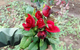 Hoa hồng khan hiếm, giá tăng vọt trước Valentine