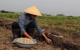 'Giải cứu' hành tăm Nghệ An trước tình trạng ế ẩm