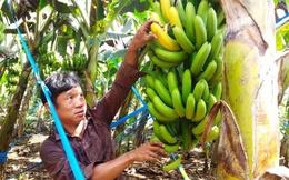 Giá đang nhích dần, người trồng chuối Đồng Nai vui trở lại