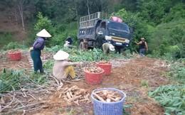 Tiêu thụ sắn ở Kon Tum: Nhiều nỗi lo thường trực