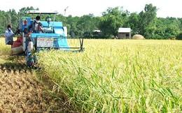 Giá lúa tăng nhưng năng suất kém nên nông dân lãi ít