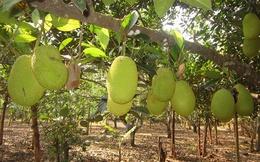 Lão nông trồng mít Thái lá bàng thu tiền tỷ mỗi năm