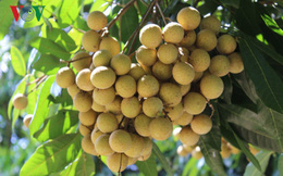 Nông dân Sơn La thu tiền tỷ từ trồng nhãn ghép