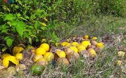 Cận cảnh những vườn cam rơi rụng sau mưa lũ khiến nông dân trắng tay