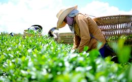 45% cổ phần Chè Lâm Đồng chuẩn bị được đưa ra đấu giá trọn lô