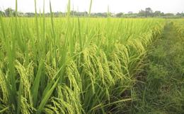 Giống cây trồng Trung Ương (NSC): 9 tháng lãi 143 tỷ đồng, tăng 19% so với cùng kỳ