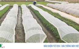 Bấp bênh đầu ra, nông dân không mặn mà làm rau an toàn