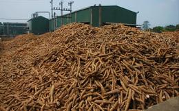 Giá thu mua sắn nguyên liệu tăng