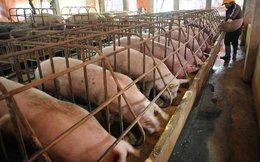 Tình hình giá cả tiêu thụ thịt lợn ở Trung Quốc