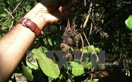 Bình Thuận: Điều có giá thu mua cao nhưng lại bị mất mùa