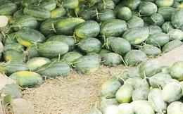 Người trồng dưa hấu lại lâm cảnh nợ nần