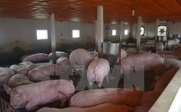 Hà Tĩnh dành gần 9 tỷ đồng hỗ trợ các cơ sở chăn nuôi lợn nái