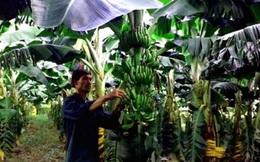 Triển vọng từ trồng chuối Nam Mỹ