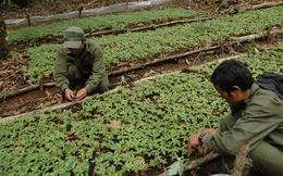 Phát triển 1.000 ha sâm Ngọc Linh