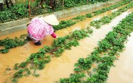Giá rau Đà Lạt tăng vọt sau bão số 12