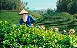 [Video]: Xuất khẩu chè của Việt Nam đứng thứ 5 trên thế giới