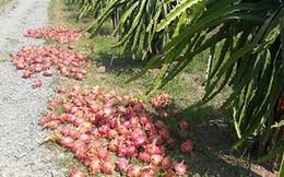 Thanh long rớt giá thảm hại tại Bình Thuận, vì đâu?