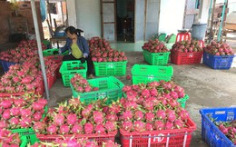 Thanh long Bình Thuận sẽ tăng giá mạnh trong những ngày tới?