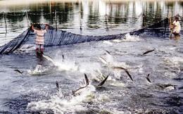 Vừa mừng vừa lo chuyện cá tra Việt ồ ạt xuất sang Trung Quốc – Góc nhìn từ người trong cuộc