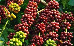 Xuất khẩu cà phê sang các thị trường lớn tăng mạnh
