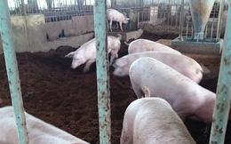 Lợn giống khan hiếm, nông dân Tiền Giang ngại tái đàn