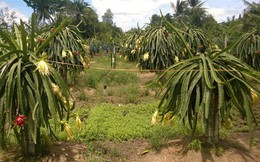 Mua xô tại vườn, thanh long chỉ còn 1.000 đồng/kg