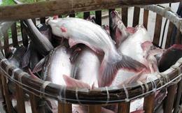AAM tăng cao, Thủy sản Mekong vẫn muốn mua 2,4 triệu cổ phiếu quỹ để bình ổn giá