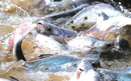 Giá cá tra nguyên liệu biến động mạnh, doanh số xuất khẩu Vĩnh Hoàn giảm về 213 triệu USD, ANV tăng mạnh lên hơn 93 triệu USD