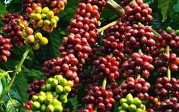 Xuất khẩu cà phê sang Tây Ban Nha nhiều triển vọng